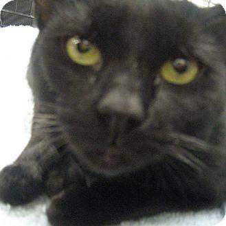 Bombay Cat for adoption in New york, New York - EMMA