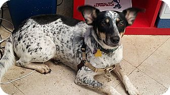 Pointer/Cattle Dog Mix Dog for adoption in Homestead, Florida - Angie