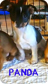 Chihuahua/Pekingese Mix Puppy for adoption in House Springs, Missouri - Panda