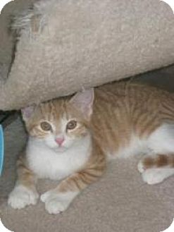 Domestic Shorthair Kitten for adoption in Bloomsburg, Pennsylvania - Ainsley