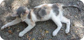 Bengal Kitten for adoption in Dallas, Texas - Pebbles