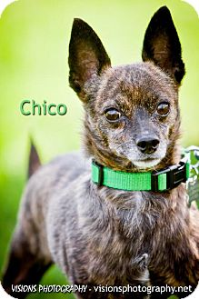 Chihuahua Dog for adoption in Cedar Rapids, Iowa - Chico