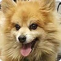 Adopt A Pet :: Ziggy - Loveland, CO