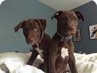 Labrador Retriever Mix Puppy for adoption in San Antonio, Texas - Watson