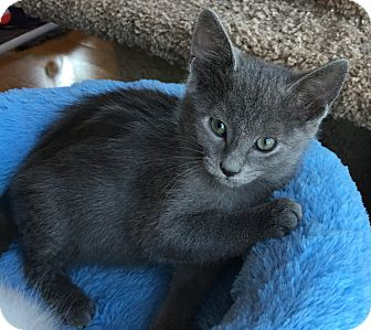 Russian Blue Kitten for adoption in Fort Worth, Texas - Pookie