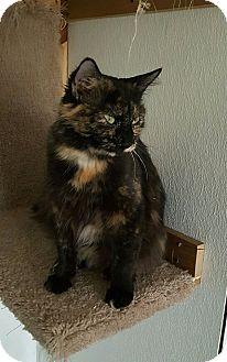 Domestic Shorthair Cat for adoption in Hanna City, Illinois - Alisha