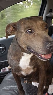 Pit Bull Terrier Mix Dog for adoption in Wilmington, North Carolina - JAYLEE