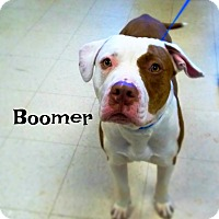 Pit Bull Terrier Mix Dog for adoption in Defiance, Ohio - Boomer
