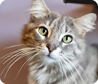 Domestic Longhair Cat for adoption in Royal Oak, Michigan - EEVEE
