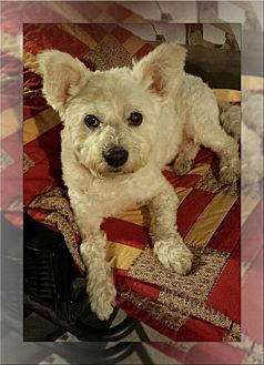 Bichon Frise/Westie, West Highland White Terrier Mix Dog for adoption in Tulsa, Oklahoma - Adopted!! Fomo - MI