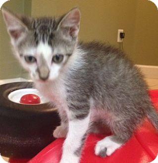 Domestic Shorthair Kitten for adoption in Oviedo, Florida - Jacob