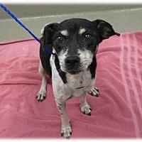 Adopt A Pet :: Purebred Rat Terrier Tellie - Boca Raton, FL