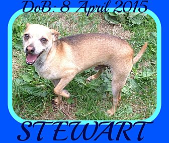 Chihuahua Mix Dog for adoption in Jersey City, New Jersey - STEWART