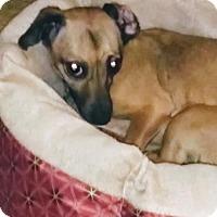 Adopt A Pet :: Pickles - Grayson, LA