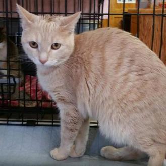 Domestic Shorthair/Domestic Shorthair Mix Cat for adoption in Ashtabula, Ohio - AvaCatner