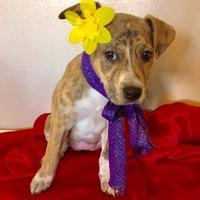 Adopt A Pet :: Artemis - Santa Fe, TX