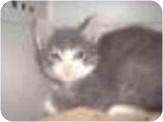 Domestic Mediumhair Kitten for adoption in San Diego/North County, California - Moose