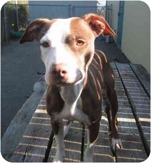 American Pit Bull Terrier Mix Dog for adoption in Providence, Rhode Island - Jasleene