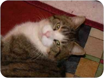 Domestic Shorthair Cat for adoption in Clarksville, Indiana - Chester