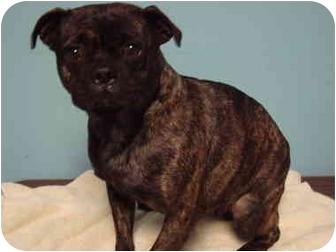 Boston Terrier/Boston Terrier Mix Dog for adoption in Bristow, Oklahoma - Sheeba
