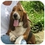 Photo 2 - Basset Hound Dog for adoption in Folsom, Louisiana - Cletus