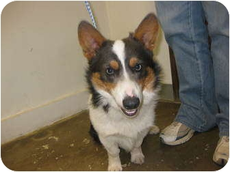 Corgi Dog for adoption in Inola, Oklahoma - Cooper
