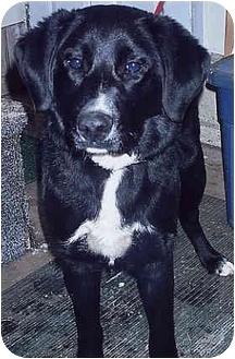 Border Collie/Labrador Retriever Mix Dog for adoption in Owatonna, Minnesota - Jake