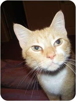 Domestic Shorthair Kitten for adoption in Bentonville, Arkansas - Ginger