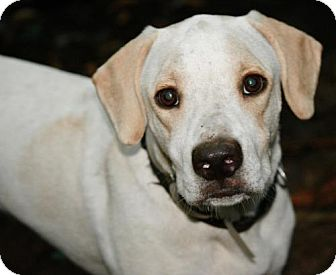 Labrador Retriever Mix Dog for adoption in Hastings, New York - Lochte