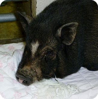 Pig (Potbellied) for adoption in North Wilkesboro, North Carolina - Zoe