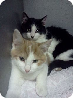 Domestic Shorthair Kitten for adoption in Southington, Connecticut - Darla