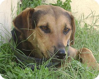 German Shepherd Dog Mix Puppy for adoption in Poway, California - TUBY