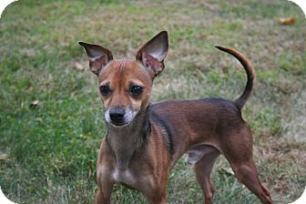 Chihuahua/Italian Greyhound Mix Dog for adoption in Worcester, Massachusetts - Oliver Twist