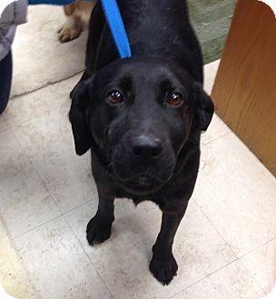 Labrador Retriever Mix Dog for adoption in Greensburg, Pennsylvania - Bimbo