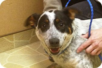 Blue Heeler Mix Dog for adoption in Syracuse, New York - Cowgirl