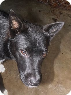 Shepherd (Unknown Type)/Border Collie Mix Dog for adoption in Henderson, North Carolina - Buttercup