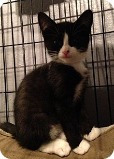 Domestic Shorthair Kitten for adoption in Toledo, Ohio - Valerie