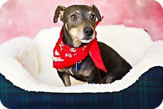 Chihuahua/Dachshund Mix Dog for adoption in Houston, Texas - Lou
