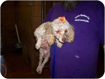 Miniature Poodle Mix Dog for adoption in Baltimore, Maryland - Toffee
