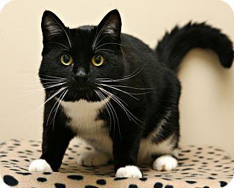 Domestic Shorthair Cat for adoption in Bellingham, Washington - James Bond