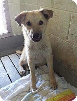 Shepherd (Unknown Type) Mix Dog for adoption in Philadelphia, Pennsylvania - Baxter