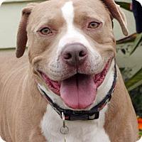 Adopt A Pet :: Bevo - Ventura, CA