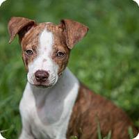 Adopt A Pet :: Ginnie - Miami, FL