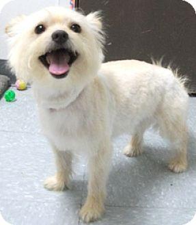 Westie, West Highland White Terrier/Yorkie, Yorkshire Terrier Mix Dog for adoption in Keokuk, Iowa - Little Man