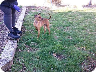 Miniature Pinscher Dog for adoption in Mine Hill, New Jersey - Pucker Brown