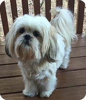 Shih Tzu Dog for adoption in Atlanta, Georgia - Tootsie