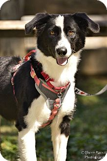 Border Collie Mix Dog for adoption in Allen, Texas - Elsa