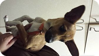 Chihuahua/Basenji Mix Dog for adoption in Westminster, California - Clarence