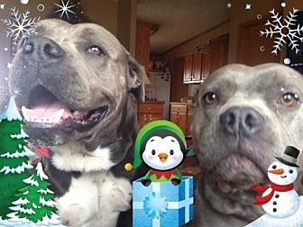 Pit Bull Terrier Dog for adoption in Centerburg, Ohio - Dozer