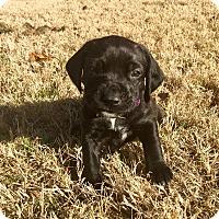 Adopt A Pet :: If So Girl - Norman, OK